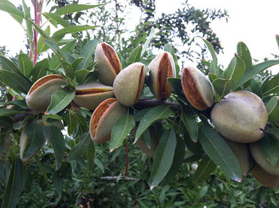 almond_growing_australia