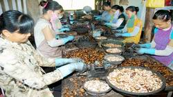 Indian Cashew Nut Shelling Method